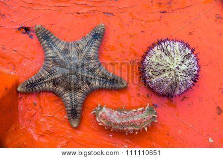 Starfish, Sea urchin, Sea worm on grunge red background.