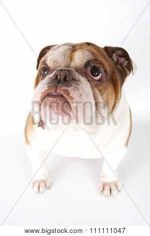 Portrait Of An English Bulldog Close-up..