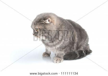 Scottish Fold Cat Breed Looks Down..