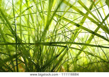Dew on green grass closeup