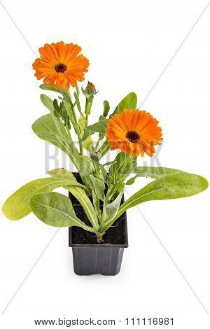 Marigold flowers, Calendula Officinalis