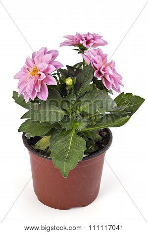 Pink Dahlia Coreopsideae