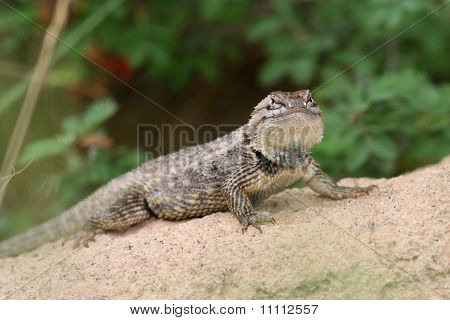 Desert Spiny Lizard (Sceloporus magister) - Sonoran Desert, Arizona