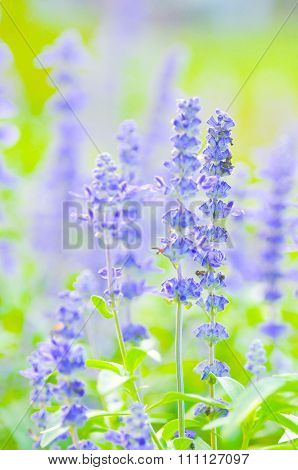 Blue Salvia,mealy Cap Sage Or Salvia Farinacea Benth