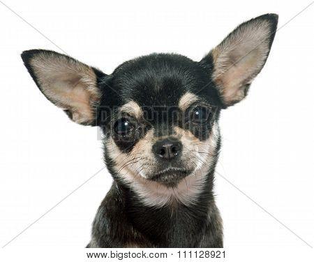 Purebred Puppy Chihuahua