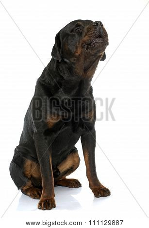 Purebred Male Rottweiler