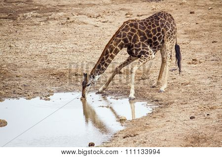 Giraffe drinking in a pond In Kruger National Park