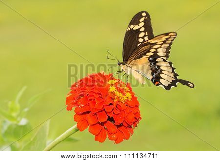 Giant Swallowtail butterfly feeding on an orange zinnia flower, with summer green background