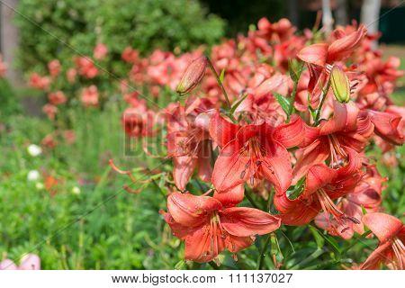 Daylily Brown, Hemerocallis