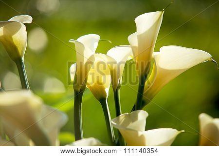 Calla Lilies Close-up. Shallow Dof