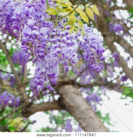 The Purple Wisteria Sinensis In The Garden Of Chellah