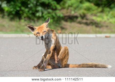 Young Fox Scratched And Takes A Bite Of Fleas