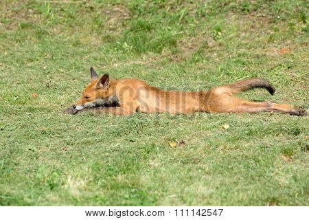 Young Fox Resting On A Mown Grass