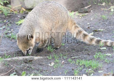 Coati (nasua)