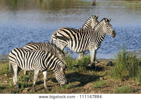 Burchell's Zebra in the riverbank, In Kruger National Park