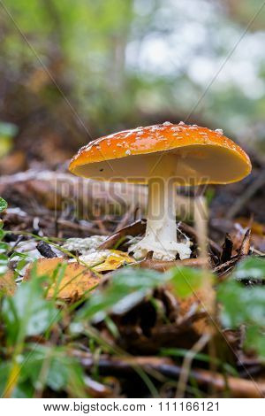 spotted toadstools in the woods with blurred background