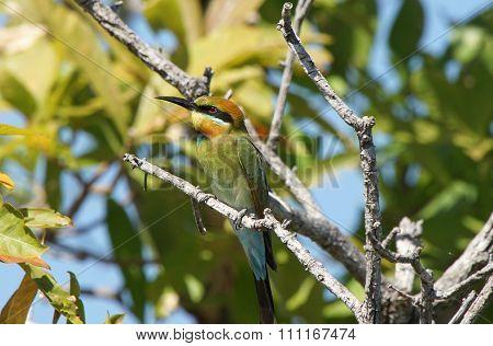 Rainbow Bee-eater, Australia