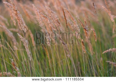 Close Up Of Foxtail Grass Flowers