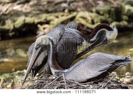 Mating Pelicans