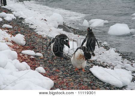 Gentoo Penguins, On Rocky Beach
