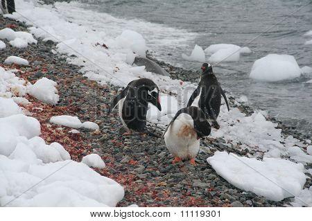 Gentoo Penguins, On Rocky Beach