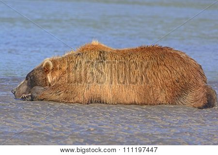Bear Sleeping On A Sand Bar After A Good Meal