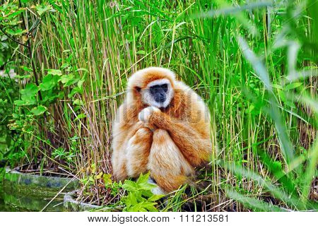 White-handed Gibbon  Monkey In Its Natural Habitat Of The Wild.