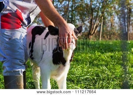 Portrait Of  Calf Sucking Farmer Finger