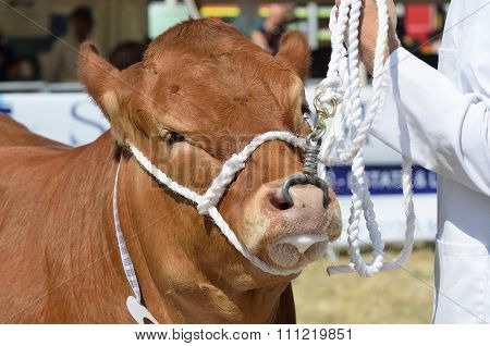 Cow being exhibited in country show