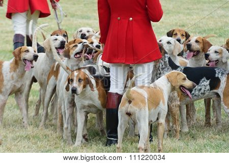 Foxhounds with hunter on foot
