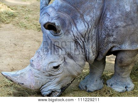 Profile Of Rhino Head Shot.