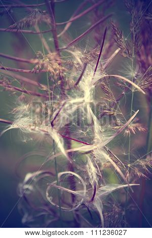 Grass ears close up. dandelion