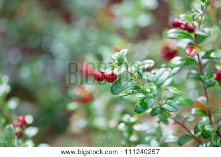 Cowberry. Bushes Of Ripe Forest Berries.