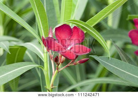 Nerium Oleander 'Jannoch'