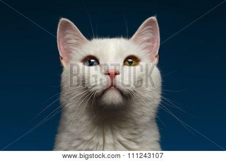 Closeup White Cat With  Heterochromia Eyes On Blue
