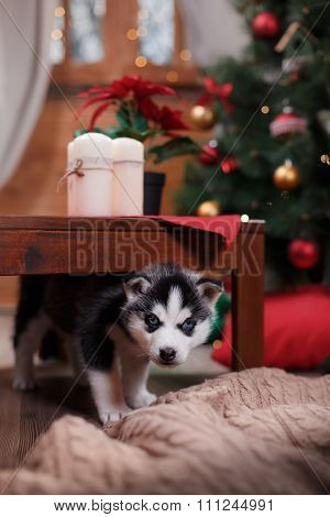 Dog Siberian Husky , Cute Little Siberian Husky Puppy