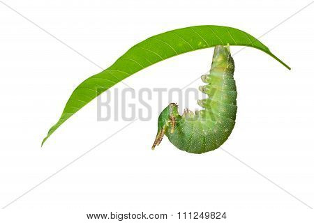 Caterpillar Of Tawny Rajah Butterfly Before Molting To Pupa