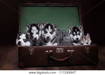 Dog Siberian Husky puppies