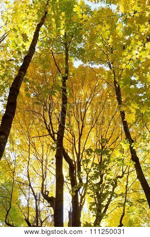 Golden Yellow Of Autumn Forest Canopy