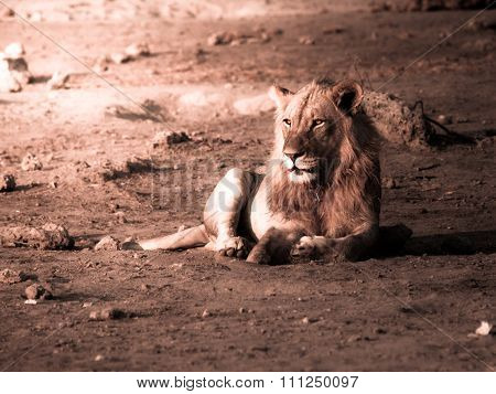 Male lion having a rest
