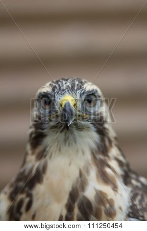 Buzzard Portrait (Buteo buteo)