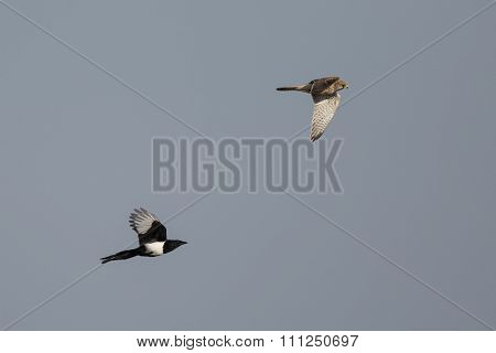 Magpie (Pica pica) chases Common Kestral (Falco tinnunculus) in flight