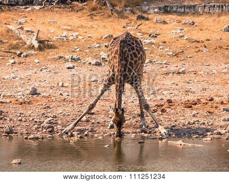 Giraffe drinking from waterhole