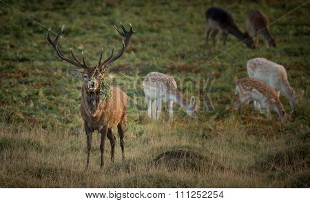 Large Red Deer Stag, with mixed herd and bracken fern on large antlers