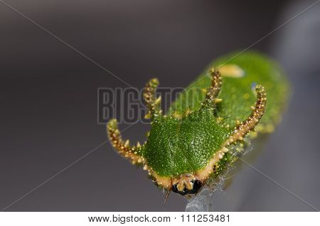 Face Of Caterpillar Tawny Rajah Butterfly