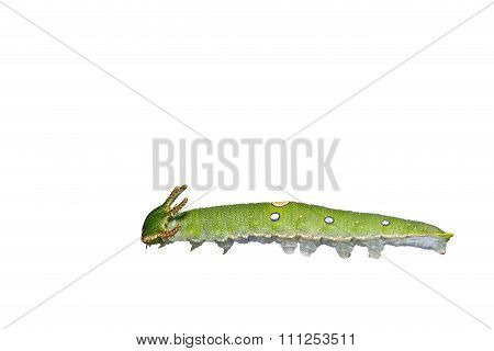 Isolated Caterpillar Of Tawny Rajah Butterfly