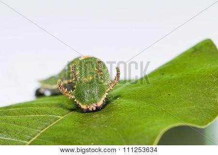 Caterpillar Of Tawny Rajah Butterfly