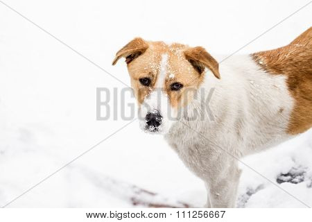 Street Dog Walking And Hounding In The Snow