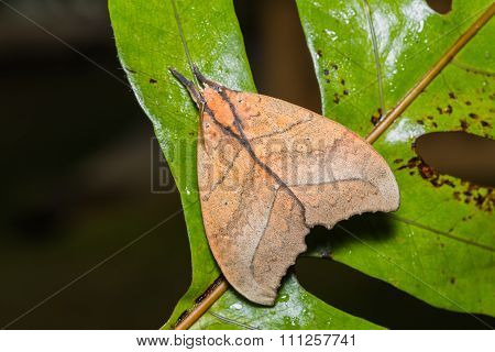 Prominent Moth On Green Leaf