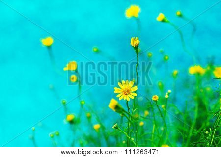 Small Pretty Yellow Daisy On Blue Background